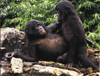 Practice of masturbation by bonobo chimpanzees